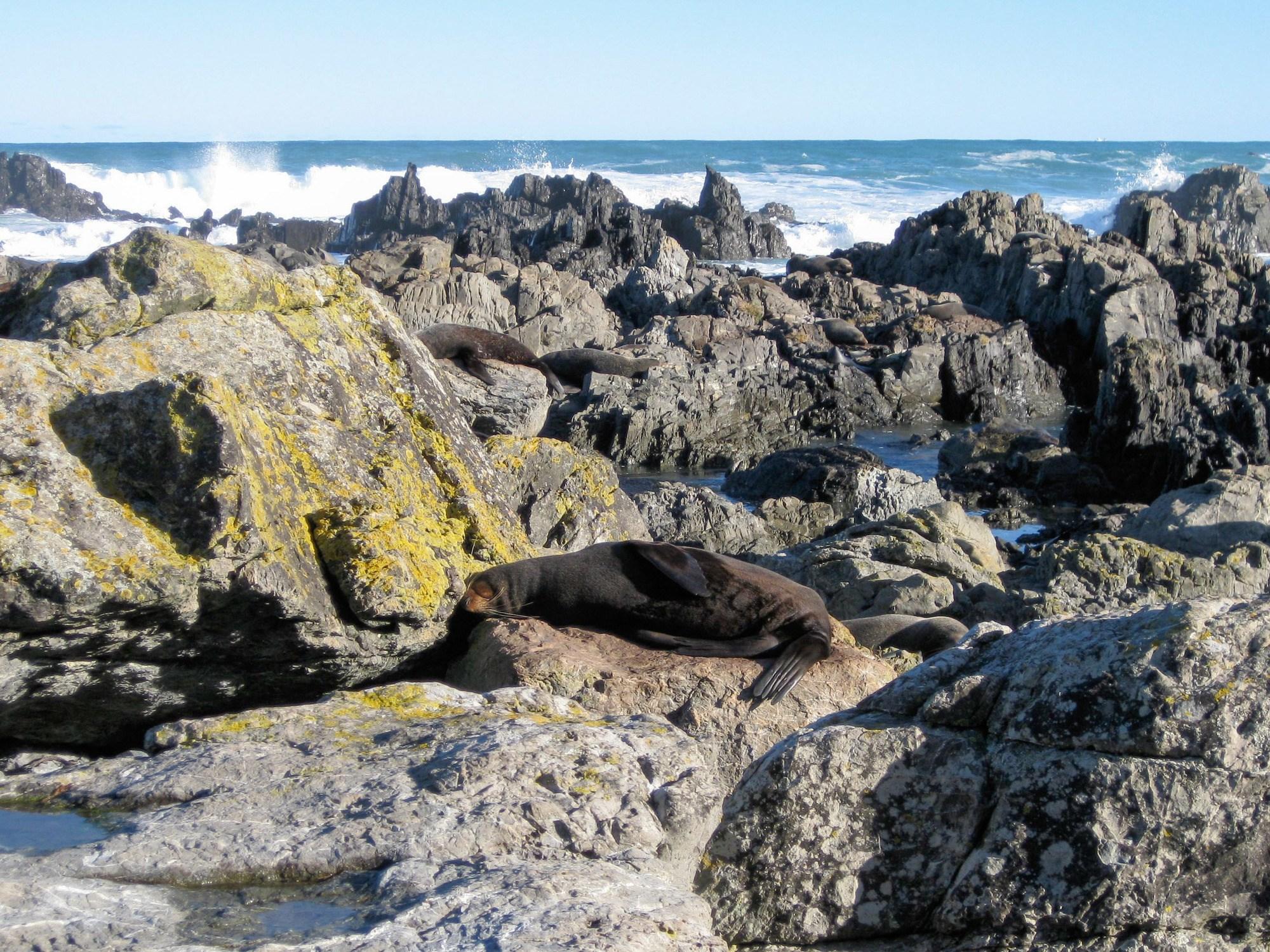 New Zealand fur seals at Sinclair Head in Wellington