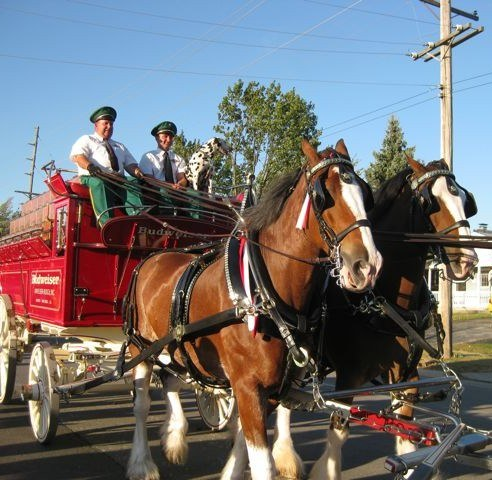 Seeing the Budweiser Clydesdale Horses in Person
