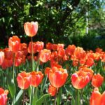 Tips for Going to the Canadian Tulip Festival in Ottawa