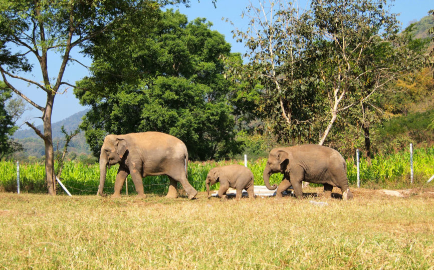 Volunteering at Elephant Nature Park: What's It Like?