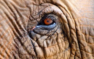 Close up of an elephant eye