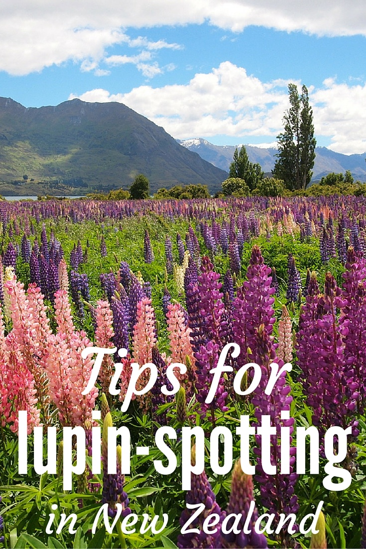 Tips for finding lupins in New Zealand