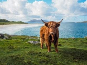 Highland cow at Luskentyre Beach, Isle of Harris