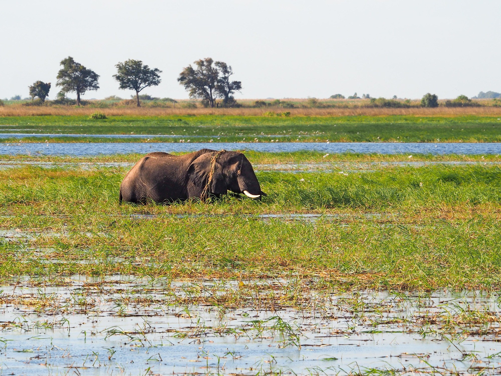 Elephant in Chobe National Park