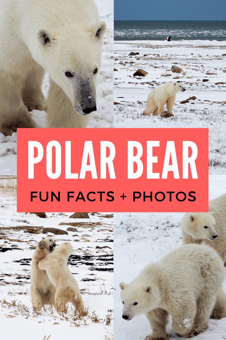 Polar bear fun facts and photos