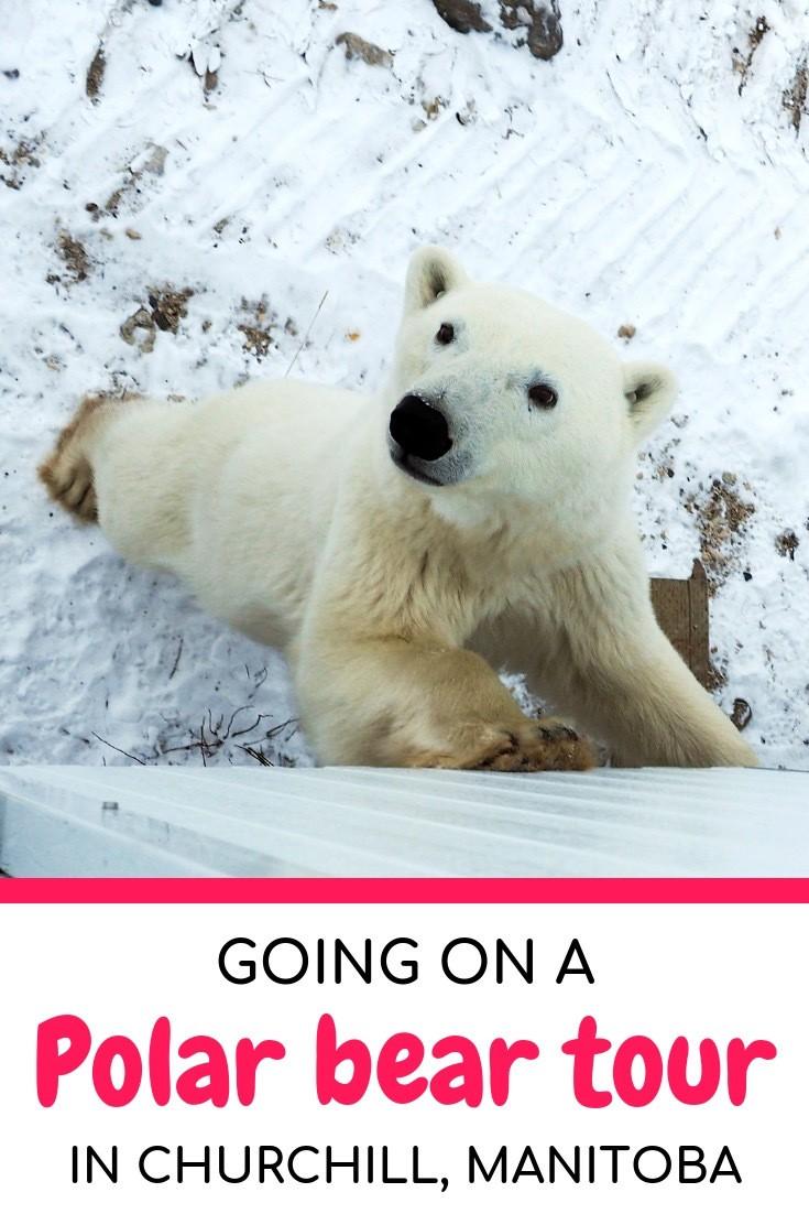 Going on a polar bear tour in Churchill, Manitoba