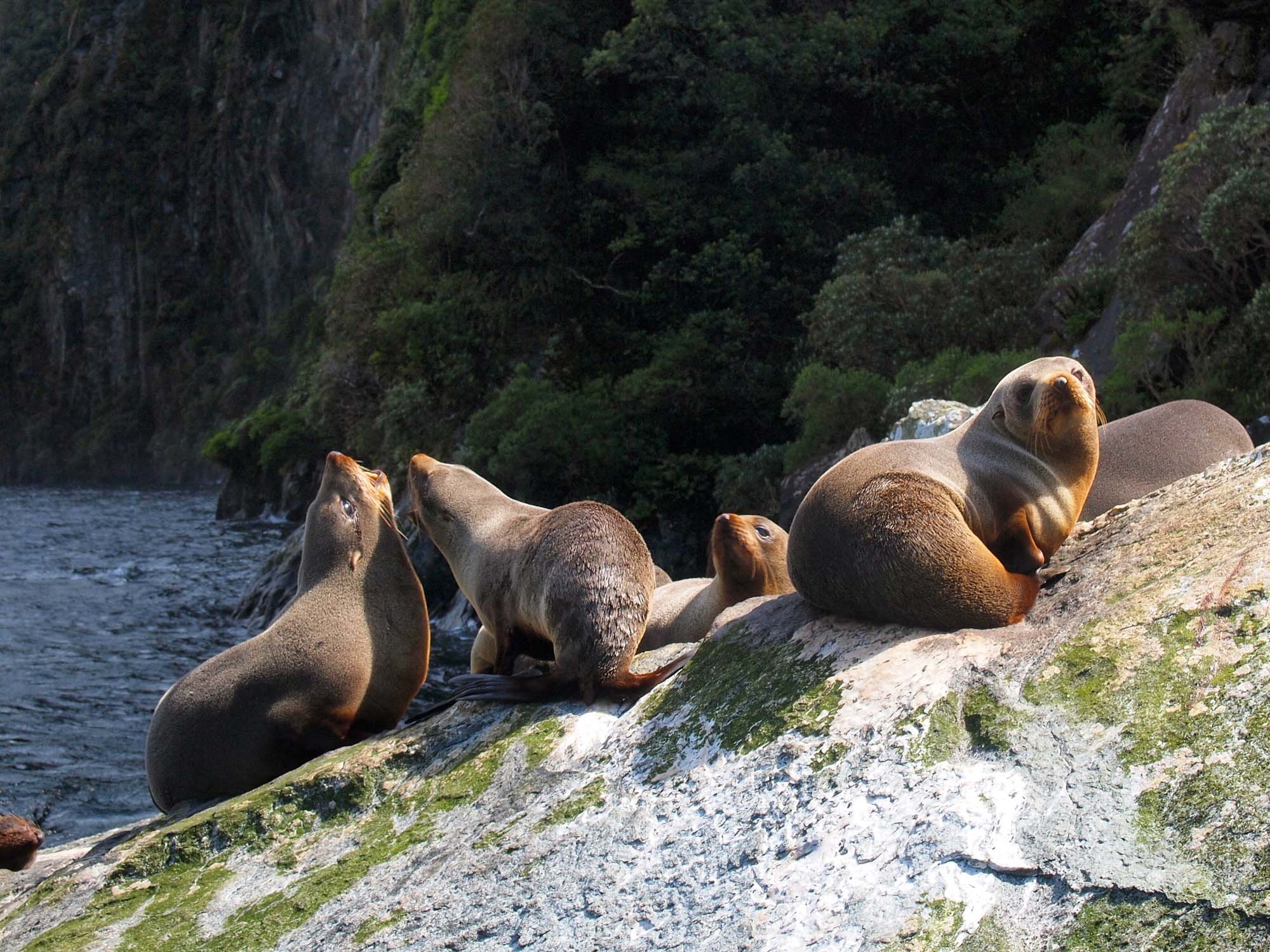 Fur seals in New Zealand